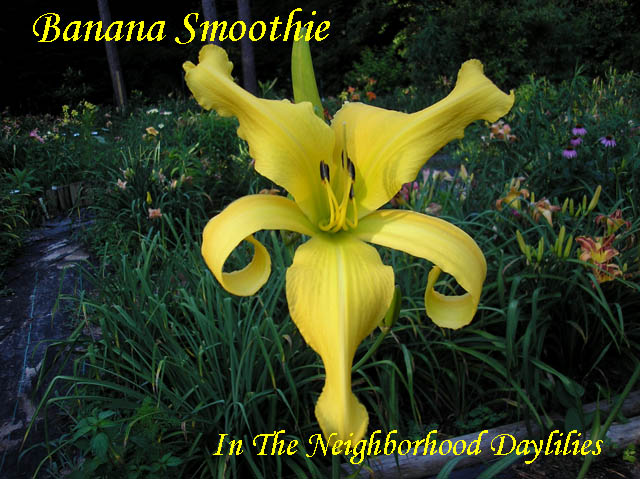 Banana Smoothie  (George, T.,  2006)-Daylily;Daylilies;Daylillies;CLICK PICTURE TO ENLARGE;Banana Smoothie Daylily;T. George 2006 Daylily;Bright Yellow Unusual Form Daylily;Reblooming Daylilies;Award Winning Daylily
