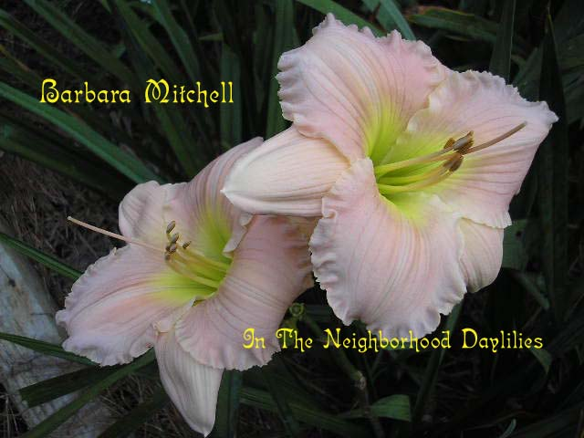 Barbara Mitchell  (Pierce, C., 1984)-CLICK PICTURE;Daylily Barbara Mitchell;Pierce Daylily;Pink Self Daylily;Award Winning Daylily;1984 Registered Daylily;Affordable Daylilies;Midseason Daylily; Reblooming Daylily;Diploid Daylily;Semi-evergreen daylily