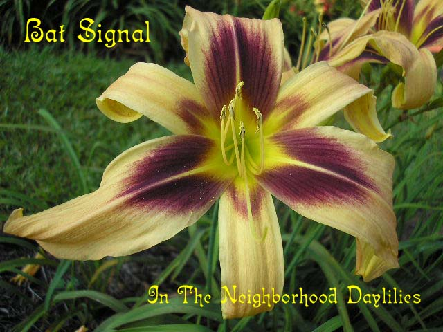Bat Signal  (Reed, 1996)-CLICK PICTURE;Bat Signal Daylily;Reed Daylily;Cream w' Purple Eye Daylily;Unusual Form Daylily;1996 Registered Daylily;Early Midseason Daylily;Diploid Daylily;Semi-evergreen Daylily