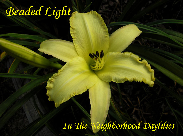 Beaded Light  (Gossard, 2003)-Daylily;Daylilies;Day Lily;Daylillies;Daylily Beaded Light;2003 Gossard Daylily;Yellow w'Beaded Yellow Edge Above Green Throat Daylily;Unusual Form Daylily;Reblooming Daylilies;Fragrant Daylilies