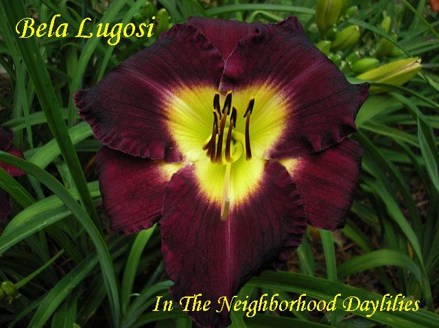 Bela Lugosi  (Hanson, C.  1995)-Daylily;Daylilies;Day Lily;Bela Lugosi Daylily;C.Hanson 1995 Daylily;Deep Purple w' Lime Green Throat Daylily;Award Winning Daylily;Midseason Blooming Daylily