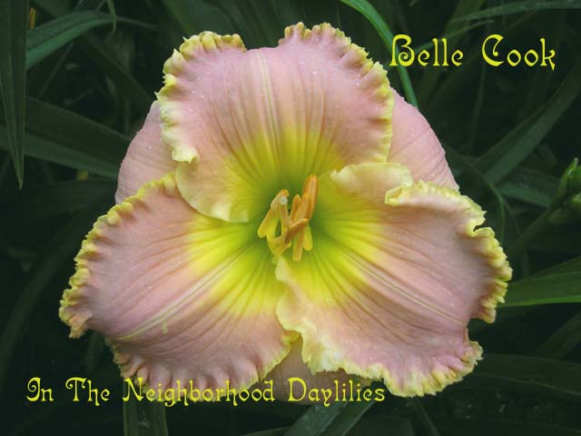 Belle Cook  (Brooker, 2001)-CLICK PICTURE;Daylily Belle Cook;Brooker Daylily;Pink Self w' Bubbly Yellow Edge Daylily;Award Winning Daylily;2001 Registered Daylily;Tetraploid Daylily;Semi-evergreen Daylily