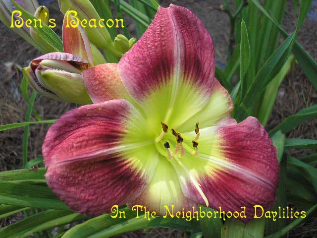 Ben's Beacon  (Chandler, 1999)-CLICK IMAGE TO ENLARGE;Daylily Ben's Beacon;Chandler Daylily;Rose Red Blend w' Wine Red Band & Large Chartreuse Throat Daylily;Polymerous Daylily;Early Midseason Daylily;Reblooming Daylilies;Diploid Daylily;Dormant Daylily