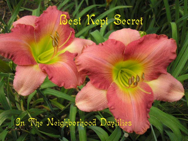 Best Kept Secret  (Kirchhoff, D., 1990)-CLICK PICTURE;Daylily Best Kept Secret, Kirchhoff Daylily;Rose Pink w' Coral Rose Watermark Daylily;Award Winning Daylily;Midseason Daylily;Reblooming Daylilies;Fragrant Daylilies;Extended Bloom Time Daylilies
