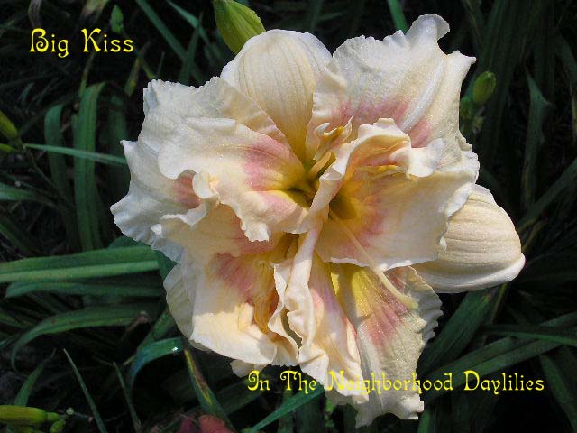 Big Kiss  (Joiner, 1991)-CLICK PICTURE;Daylily Big Kiss;Joiner Daylily;Light Peach w' White Rose Eye Daylily;Award Winning Daylily;Double Daylily;Affordable Daylilies;Fragrant Daylilies;Midseason Daylily; Reblooming Daylilies;Diploid Daylily;Dormant Daylily