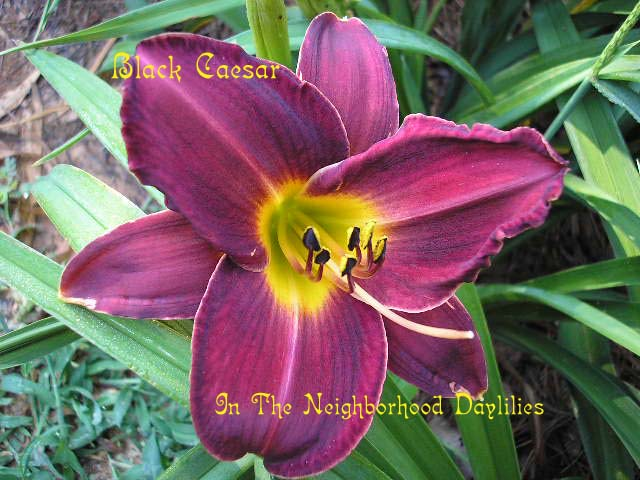 Black Caesar  (Barrere, 1977)-CLICK PICTURE;Daylily Black Caesar;Barrere Daylily;Maroon Self Daylily;Affordable Daylilies;Midseason to Late Season Daylilies;Fragrant Daylilies;Tetraploid Daylily;Dormant Daylily