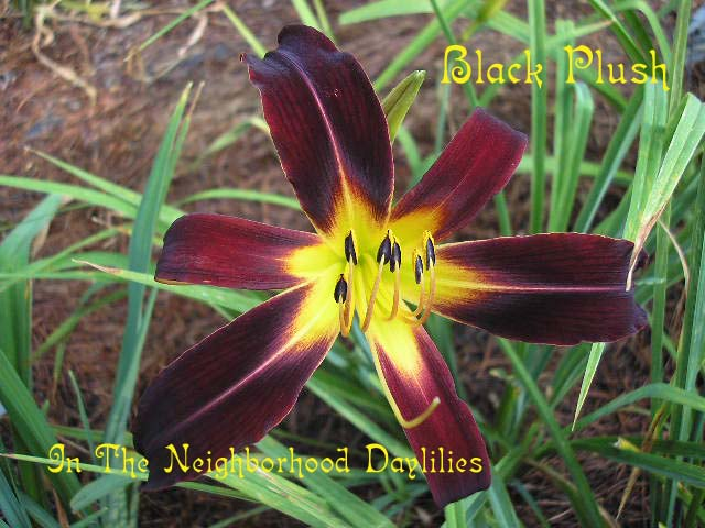 Black Plush (Connell, 1955)-Daylily Black Plush;CLICK PICTURE;Connell Daylily;Award Winning Daylily;Spider Daylilies;Velvety Red Black Daylily