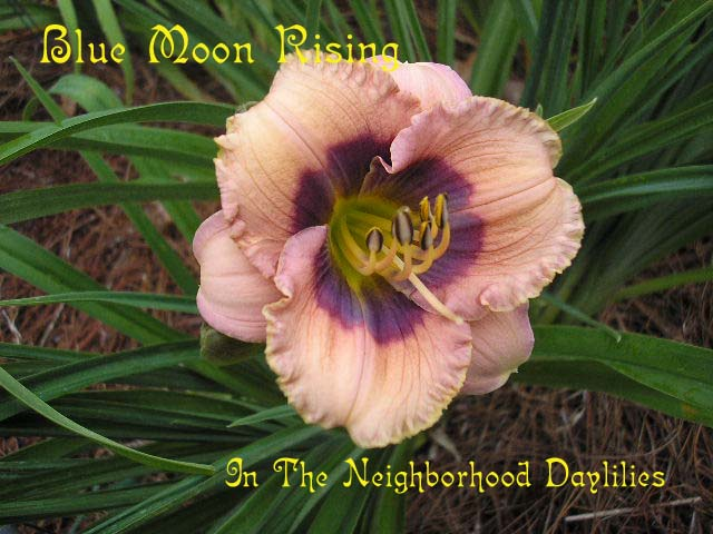 Blue Moon Rising  (Salter, E.H., 1991)-CLICK PICTURE;Daylily Blue Moon Rising;E.H.Salter Daylily;Pale Ivory Peach w' Blue Violet Eye Daylily;Award Winning Daylily;Midseason Daylily; Reblooming Daylilies;Diploid Daylily;Semi-evergreen Daylily