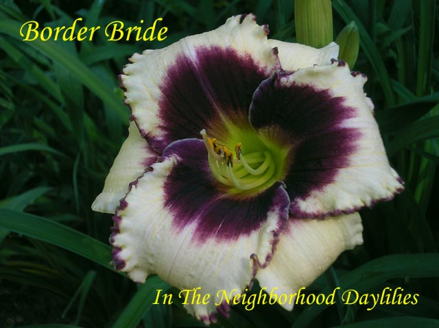 Border Bride (Salter, 1995)-CLICK PICTURE;Daylily Border Bride;Salter Daylily;Near White w' Purple Eye Daylily;Early to Midseason Daylily;Reblooming Daylilies;Tetraploid Daylily;Semi-evergreen Daylily