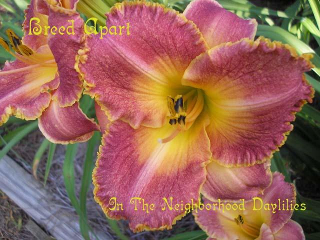 Breed Apart  (Salter, E.H., 1996)-CLICK PICTURE;Daylily Breed Apart;Salter Daylily;Orange Coral Blend w' Gold Edge Daylily;Award Winning Daylily;Midseason Daylily;Affordable Daylilies;Tetraploid Daylily;Semi-evergreen Daylily