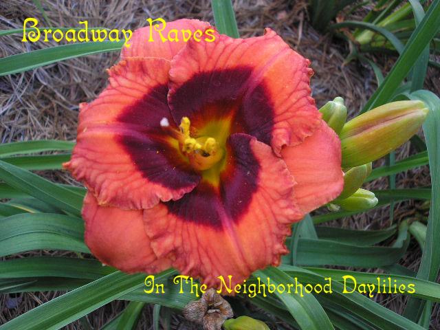 Broadway Raves (Stamile, G., 2002)-CLICK PICTURE;Daylily Broadway Raves;Grace Stamile Daylily;Red Orange w' Dark Red Eye Daylily;Midseason Daylily;Reblooming Daylilies;Tetraploid Daylily;Dormant Daylily