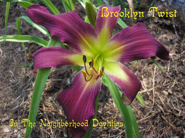 Brooklyn Twist  (Lambertson,  1998)-CLICK PICTURE;Daylily Brooklyn Twist;Lambertson Daylily;Violet w' Red Self Daylily;Spider Daylily;Daylily Picture;Perennials;Award Winning Daylily;Midseason Daylily