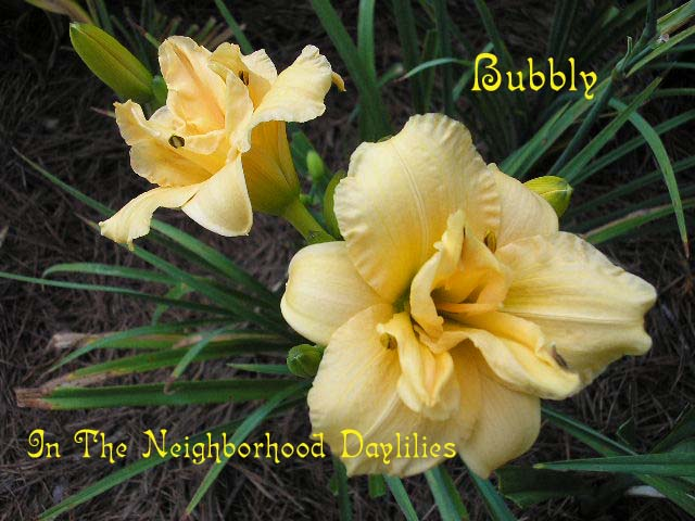 Bubbly (Joiner, J., 1989)-Daylily;Day Lily;Daylilies;CLICK IMAGE TO ENLARGE;Daylily Bubbly;Joiner 1989 Daylily;Apricot Self Daylily;Double Daylily;Award Winning Daylilies;Midseason Daylily;Diploid Daylily;Semi-evergreen Daylily