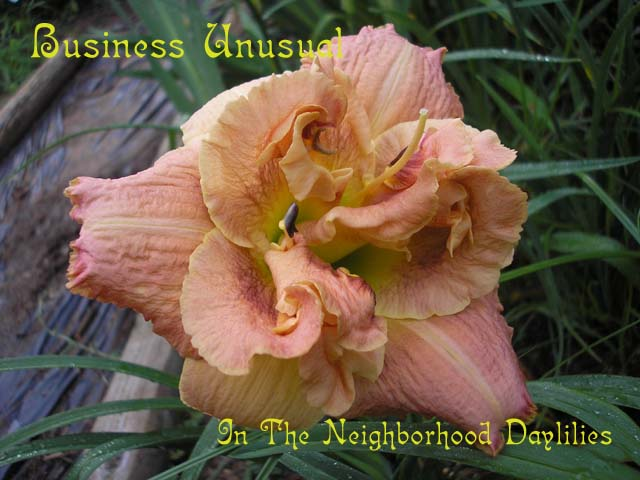 Business Unusual (Kirchhoff, D., 2000)-CLICK PICTURE;Daylily Business Unusual;Kirchhoff,D. Daylily;Tan Beige Cedar w' Coral Blend daylily;Double Daylily;Early Daylily;Reblooming Daylilies;Extended Blooming Time Daylilies;Tetraploid Daylily;Evergreen Daylily