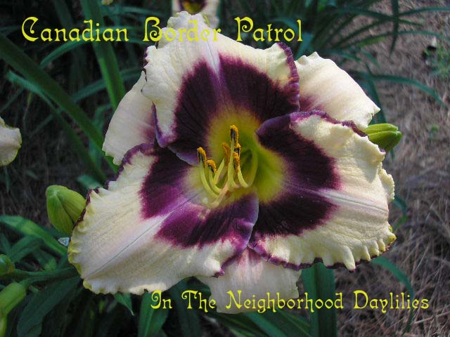 Canadian Border Patrol  (Salter, 1995)-CLICK PICTURE;Daylily Canadian Border Patrol;Salter Daylily;Cream w' Purple Eye & Edge Daylily;Award Winning Daylily;Early To Midseason Daylily;Reblooming Daylilies;Tetraploid Daylily;Semi-evergreen Daylily