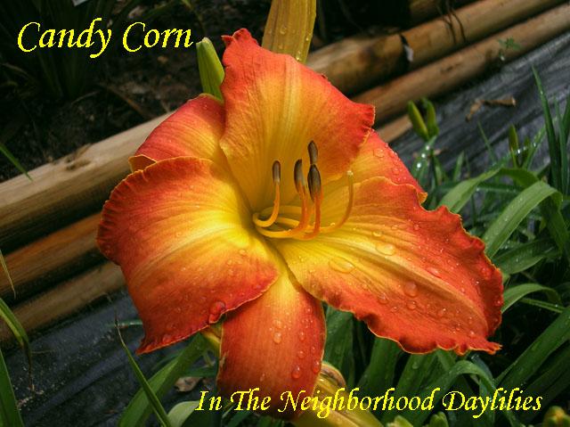 Candy Corn  (Netherton, J.,  2007)-Daylily;Daylilies;Daylillies;CLICK ON IMAGE TO ENLARGE;Daylily Candy Corn;2007 J.Netherton Daylily;Orange Yellow Gold Polychrome Daylily;Fragrant Daylilies