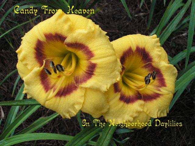 Candy From Heaven  (Bell, T., 1999)-CLICK PICTURE;Daylily Candy From Heaven;Bell,T. Daylily;Gold w' Burgundy Eye Daylily;Award Winning Daylily;Midseason Daylily;Reblooming Daylilies;Fragrant Daylily;Tetraploid Daylily;Evergreen Daylily