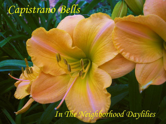 Capistrano Bells  (Munson, R.W., 1984)-Daylily;Daylilies;CLICK ON IMAGE TO ENLARGE;Daylily Capistrano Bells;R.W. Munson Daylily;Cream Pink w' Green Throat Daylily;Reblooming Daylilies;Midseason To Late Season Blooming Daylily;