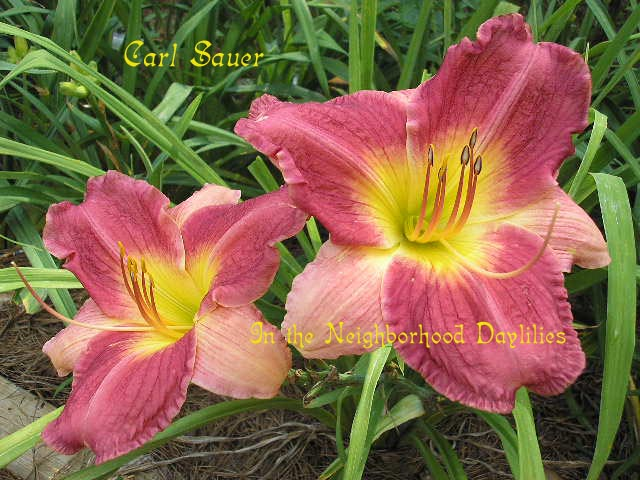 Carl Sauer  (Roberson, 1982)-CLICK PICTURE;Daylily;Daylilies;Daylily Carl Sauer;Roberson Daylily;Raspberry Buff Bicolor Daylily;Midseason Daylily;Reblooming Daylilies;Extended Blooming Time Daylilies;Diploid Daylily;Evergreen Daylily