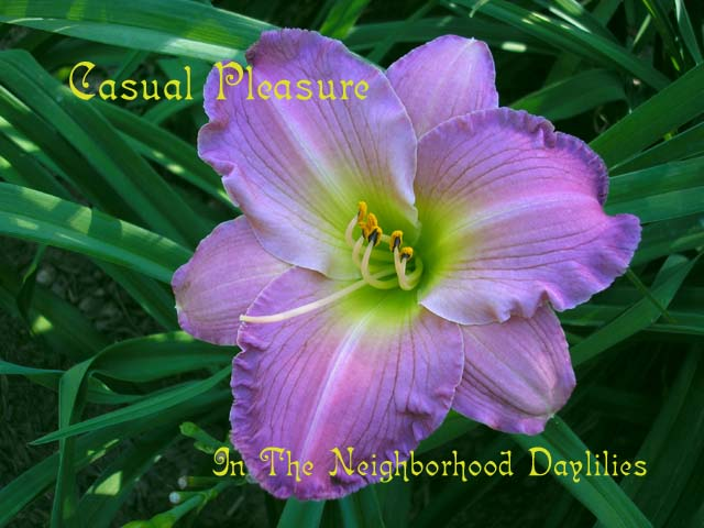 Casual Pleasure  (Gates, L.,  1985)-Daylily;Daylilies;Daylillies;CLICK ON IMAGE TO ENLARGE;Daylily Casual Pleasure;L.Gates 1985 Daylily;Pink Lavender Blend Daylily;Reblooming Daylilies;Fragrant Daylilies