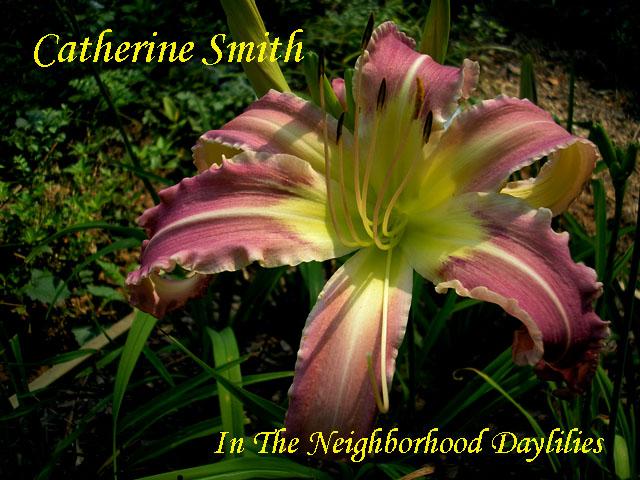 Catherine Smith  (Reed  2008)-Daylily;Daylilies;CLICK PICTURE;Daylily Catherine Smith;Margo Reed Daylily;Large Daylily;Soft Pink w' Creamy Ruffled Edges Daylily;Dormant Daylily;Early to Midseason Bloomer