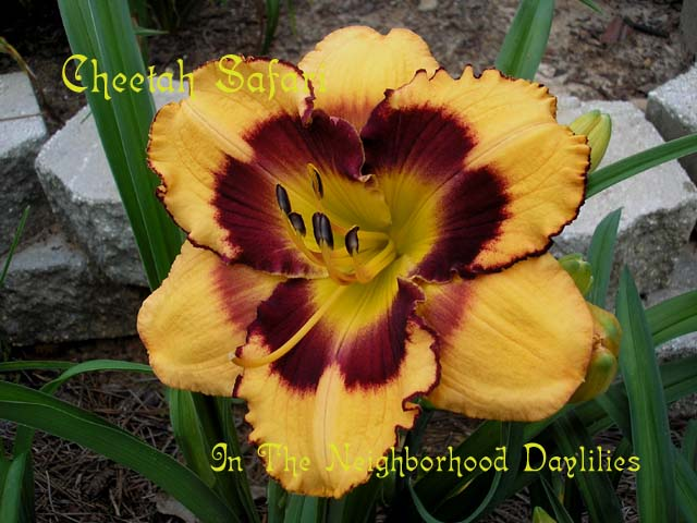 Cheetah Safari  (Corbett, 2005)-Daylily;Day Lily;Daylilies;CLICK IMAGE TO ENLARGE;Daylily Cheetah Safari;Corbett Daylily;Orange w'Black Eye & Edge Daylily;Fragrant Daylily;Mid to Late Season Daylily;Reblooming Daylilies;Tetraploid Daylily;Evergreen Daylily