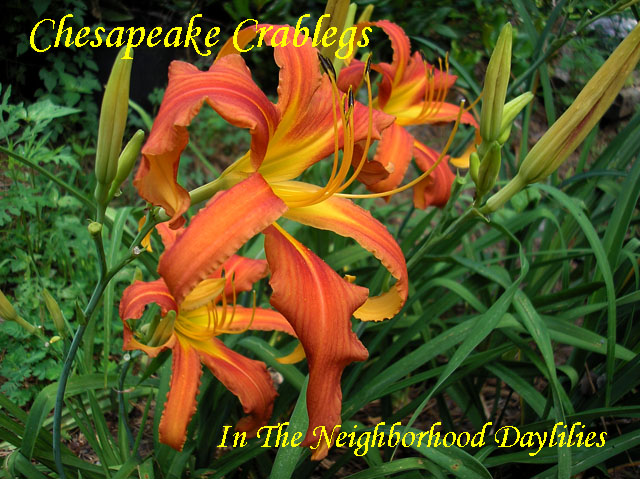 Chesapeake Crablegs  (Reed, 1994)-CLICK PICTURE;Daylily Chesapeake Crablegs;Reed Daylily;Orange w' Orange Red Chevron Eye Daylily;Spider Daylily;Award Winning Daylily;Fragrant Daylilies;Early to Midseason Daylily;Reblooming Daylilies;Diploid Daylily;Dormant Daylily