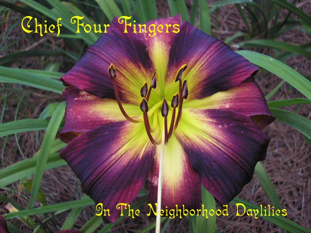 Chief Four Fingers  (Roberts, N., 2002)-CLICK PICTURE;Daylily Chief Four Fingers;Roberts,N. Daylily;Dark Red Purple w' Black Eye Daylily;Polymerous Daylily;Midseason Daylily;Extended Blooming Time Daylilies;Diploid Daylily;Semi-evergreen Daylily