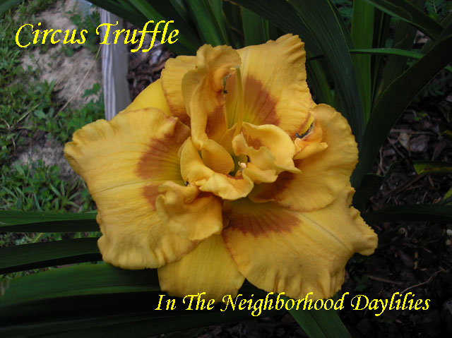 Circus Truffle,  (Kirchhoff, D.  2008)-Daylily;Daylilies;Daylillies;Daylily Circus Truffle;D. Kirchhoff 2008 Daylily;Award Winning Daylily;Orange Gold w'Red Eye Daylily;Double Daylily;Fragrant Daylilies