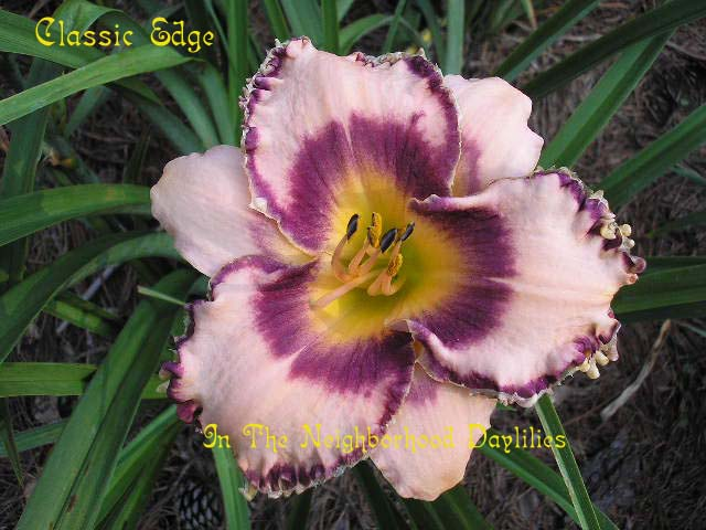Classic Edge  (Stamile, 1998)-CLICK PICTURE;Daylily Classic Edge;Stamile Daylily;Orchid Pink w' Raspberry Eye & Edge Daylily;Award Winning Daylily;Fragrant Daylily;Early to Midseason Daylily;Reblooming Daylilies;Tetraploid Daylily;Evergreen Daylily