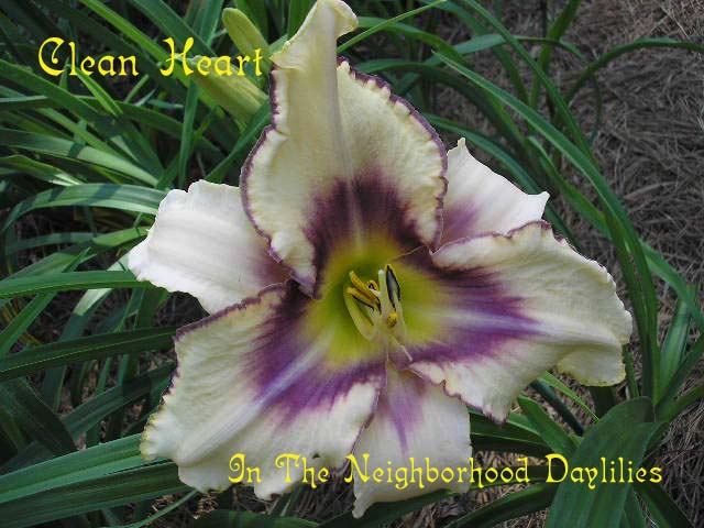 Clean Heart    (Arnold, L., 2000)-CLICK PICTURE;Daylily Clean Heart;Arnold,L. Daylily;Yellow w' Violet Halo Daylily;Early to Midseason Daylily;Reblooming Daylilies;Affordable Daylilies;Tetraploid Daylily;Evergreen Daylily