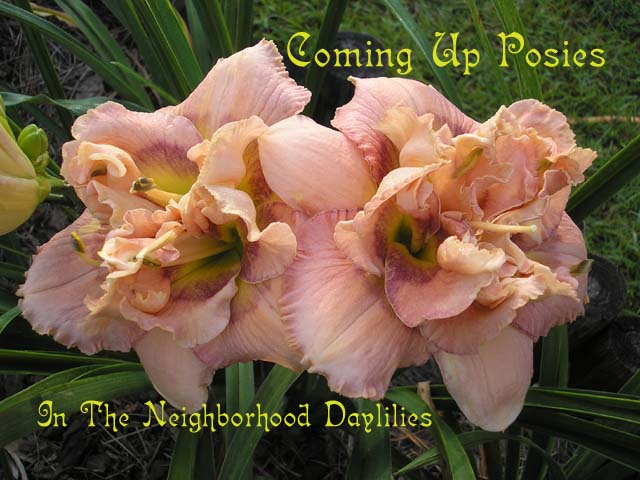 Coming Up Posies   (Kirchhoff, D.,  2002)-Daylily;Day Lily;Daylilies;CLICK IMAGE TO ENLARGE;Daylily Coming Up Posies;David Kirchhoff 2002 Daylily;Double Daylily;Reblooming Daylilies;Fragrant Daylilies;Peach Stippled Lavender w' Lavender Orchid Halo Daylily; Extended Bloom Time Daylily