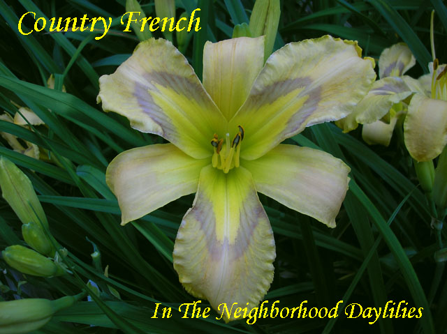 Country French  (Trimmer, J.,  2011)-Daylily;Daylilies;Daylillies;Country French Daylily;J.Trimmer 2011 Daylily;Frosted Bright Pale Gold Over a Lavender Eye Daylily;Fragrant Daylilies;Evergreen Daylily