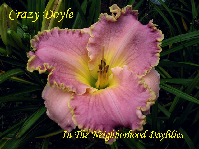 Crazy Doyle  (Townsend, J., 2003)-CLICK PICTURE;Daylily Crazy Doyle;Townsend Daylily;Pink w' White to Gold Edge Above Yellow to Green Throat Daylily;Early to Midseason Daylily;Reblooming Daylilies;Tetraploid Daylily;Semi-evergreen Daylily