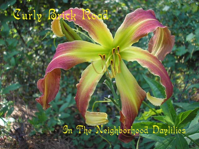 Curly Brick Road Reinke, J., 1999-CLICK PICTURE;Daylily Curly Brick Road;Reinke Daylily;Brick Red w' Creamy Gold Edge Daylily;Spider Daylily;Fragrant Daylilies;Mid to Late Season Daylily;Diploid Daylily;Dormant Daylily