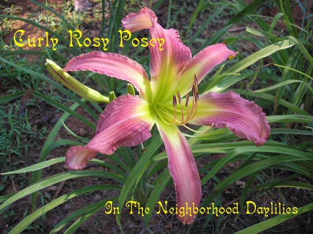 Curly Rosy Posey  (Hansen, 1992)-CLICK PICTURE;Daylily Curly Rosy Posey;Hansen Daylily;Medium Pink w' Rose Eye Daylily;Spider Daylily;Award Winning Daylily;Midseason Daylily;Reblooming Daylilies;Extended Blooming Time Daylily;Diploid Daylily; Evergreen Daylily