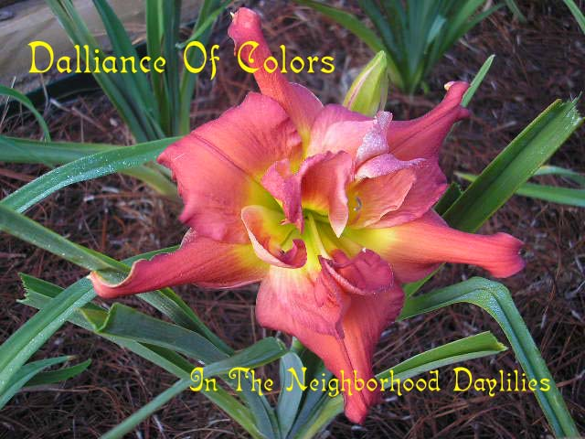 Dalliance Of Colors  (Gates, L.,  1993)-Daylily Dalliance Of Colors;Gates, L. Daylily;Copper Rose Polychrome Daylily;Very Fragrant Daylilies;Extended Blooming Daylilies;Evergreen Daylily