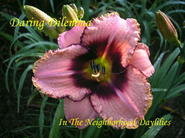 Daring Dilemma  (Salter, 1992)-CLICK PICTURE;Daylily Daring Dilemma;Salter Daylily;Cream Tinted Pink w' Plum Edge & Eye Daylily;Award Winning Daylily;Affordable Daylilies;Midseason Daylilies;Tetraploid Daylily;Semi-evergreen Daylily