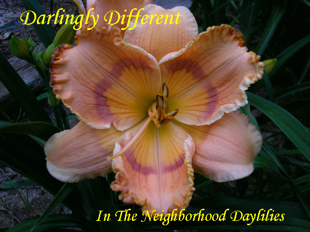 Daringly Different  (Maryott  2012)-Daylily;Daylilies;CLICK ON IMAGE TO ENLARGE;Daringly Different Daylily;Maryott 2012 Daylily;Smoky Orange w'Giant Orange Applique' Throat,Thin Wire Maroon Eye & Edge Daylily;Reblooming Daylilies