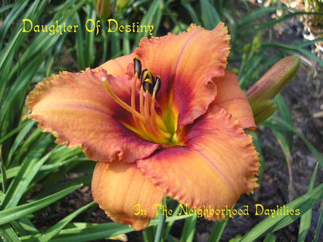 Daughter Of Destiny  (Salter, E.H., 1992)-CLICK PICTURE;Daylily Daughter Of Destiny;E.H.Salter Daylily;Orange w' Red Eye & Wire Gold Edge Daylily;Early to Midseason Daylilies;Affordable Daylilies;Tetraploid Daylily;Semi-evergreen Daylily