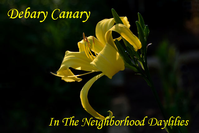 Debary Canary  (Stamile,  2006)-Daylily;Daylilies;Daylillies;Debary Canary Daylily;Stamile 2006 Daylily;Canary Yellow Self Daylily;Unusual Form Daylily;Extra Early Blooming Daylilies