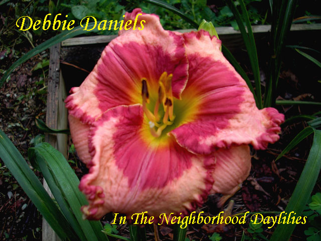Debbie Daniels  (George, J.  2009)-CLICK ON IMAGE TO ENLARGE;Daylily Debbie Daniels;Jesse George 2009 Daylily;Pink w' Hot Pink Eye & Edge Daylily;Reblooming Daylilies;Tetraploid Daylily;Daylilies For Sale