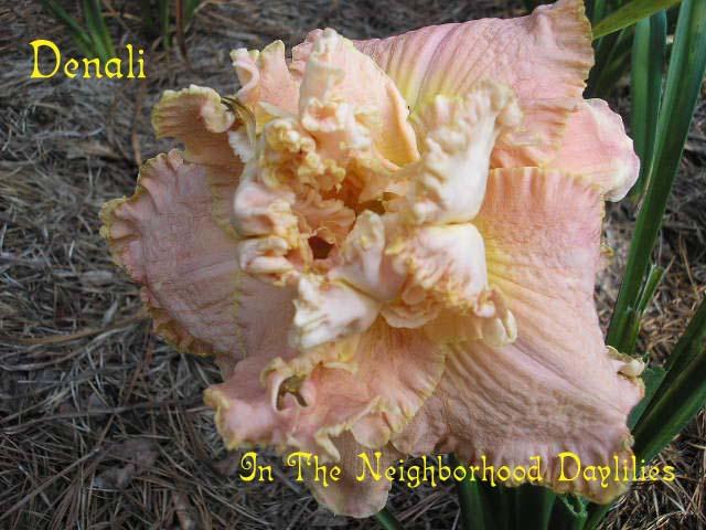 Denali  (Stamile, 1997)-CLICK PICTURE;Daylily Denali;Stamile Daylily;Pink Blend w' Bubbly Gold Edge Daylily;Double Daylily;Award Winning Daylily;Fragrant Daylily;Mid To Late Season Daylily; Reblooming Daylilies;Tetraploid Daylily;Evergreen Daylily