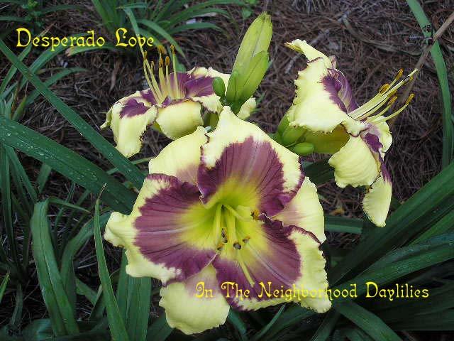 Desperado Love  (Stamile, 1994)-Daylily;Daylilies;CLICK PICTURE TO ENLARGE IMAGE;Daylily Desperado Love;Stamile 1994 Daylily;Yellow w' Plum Purple Eye Daylily;Award Winning Daylily;Midseason Daylily;Reblooming Daylilies;Tetraploid Daylily;Semi-evergreen Daylily