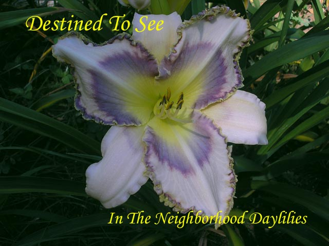 Destined To See  (Grace, L., 1998)-CLICK PICTURE;Daylily Destined To See;Larry Grace Daylily;Cream Yellow w' Lavender Eye & Edge Daylily;Unusual Form Daylily;Award Winning Daylily;Fragrant Daylilies;Early To Midseason Daylily;Tetraploid Daylily;Evergreen Daylily