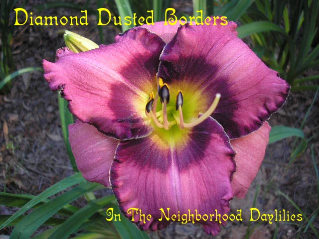 Diamond Dusted Borders  (Carpenter, J., 2000)-CLICK PICTURE;Daylily Diamond Dusted Borders;Carpenter,J. Daylily;Pastel Maroon Blend & Maroon Eye & Edge Daylily;Award Winning Daylily;Fragrant Daylily;Midseason Daylily;Reblooming Daylilies;Tetraploid Daylily;Evergreen Daylily
