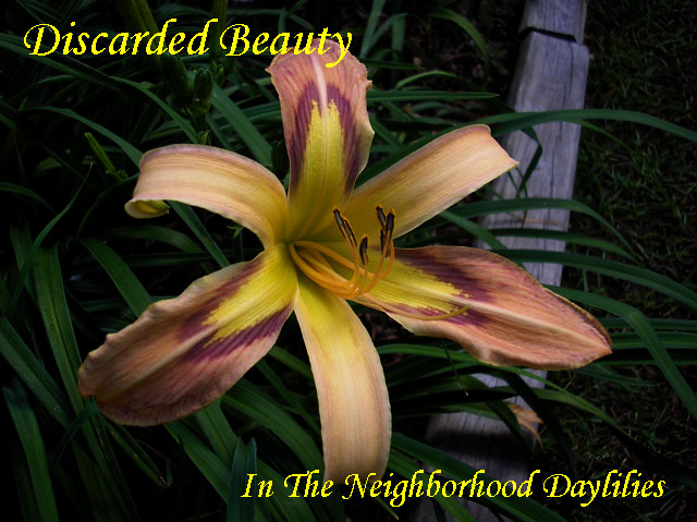 Discarded Beauty (Trimmer, J.  2009)-Daylily;Daylilies;Day Lily;CLICK ON IMAGE TO ENLARGE;Daylily Discarded Beauty;2009 J.Trimmer Daylily;Lavender Blend w' Pale Plum Eye Above Yellow Throat Daylily;Award Winning Daylily;Reblooming Daylilies;Unusual Form Daylily