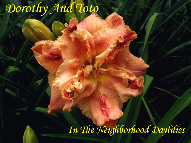 Dorothy And Toto  (Herrington, K., 2003)-CLICK PICTURE;Daylily Dorothy And Toto;K.Herrington Daylily;Rose Peach Cream Blend Daylily;Double Daylily;Fragrant Daylily;Midseason Daylily;Reblooming Daylilies;Tetraploid Daylily;Semi-evergreen Daylily