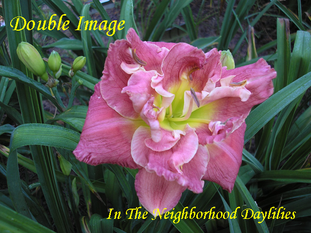 Double Image  (Stamile,  2002)-Daylilly;Daylilies;Daylillies;Daylily Double Image;Stamile 2002 Daylily;Double Daylily;Reblooming Daylilies;Deep Rose Pink Blend Daylily;Very Fragrant Daylilies