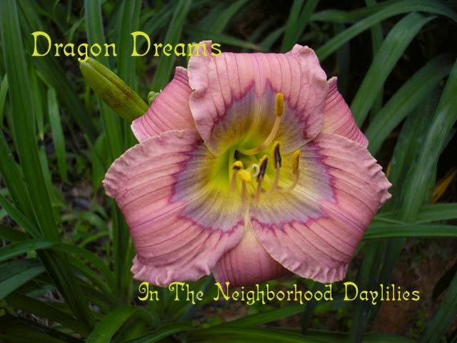 Dragon Dreams  (Salter, E.H., 1991)-CLICK PICTURE;Daylily Dragon Dreams;E.H.Salter Daylily;Lavender w' Light Violet Blue Eye Daylily;Award Winning Daylily;Mid To Late Season Daylily;Reblooming Daylilies;Affordable Daylilies;Diploid Daylily;Semi-evergreen Daylily